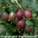 Stachelbeere rot - Ribes uva-crispa