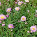Feinstrahlaster Rosa Juwel - Erigeron Hybrid