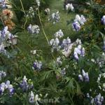 Herbsteisenhut Cloudy - Aconitum carmichaelii