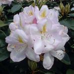 INKARHO - Großblumige Rhododendron Gomer Waterer 40-50cm - Alpenrose