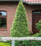 Goldspitzen Lebensbaum 80-100cm - Thuja plicata