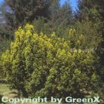 Gelbe Adlerschwingen Eibe 70-80cm - Taxus baccata Aureovariegata