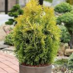 Lebensbaum Europa Gold 40-50cm - Thuja occidentalis
