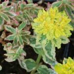 Gold Wolfsmilch Variegata - Euphorbia polychroma