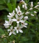 Nickender Felberich - Lysimachia barystachys