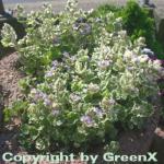 Gundelrebe Variegata - Glechoma hederacea
