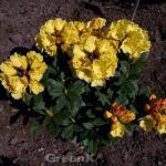 Großblumige Rhododendron Golden Everest® 40-50cm - Alpenrose