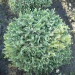Zwerg Serbienfichte Little Boy 30-40cm - Picea omorika