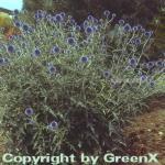 Kugeldistel Veitch Blue - Echinops ritro