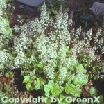 Herzblättrige Schaumblüte Moorgrün - Tiarella cordifolia