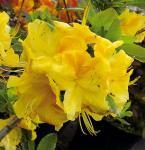 Azalee Hugh Wormald 30-40cm - Rhododendron luteum - Alpenrose