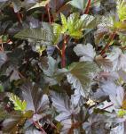 Hochstamm Fasanenspiere Diable d Or 100-125cm - Physocarpus opulifolius
