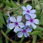 Niedrige Flammenblume Chattahoochee - Phlox divaricata