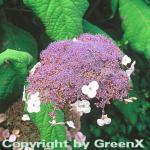Fellhortensie 80-100cm - Hydrangea aspera