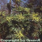 Schmuckblatt Mahonie 60-80cm - Mahonia bealei