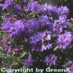 Zwerg Rhododendron Blue Wonder 30-40cm - Rhododendron russatum - Zwerg Alpenrose
