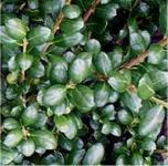 Löffelilex Stechpalme 20-25cm - ilex crenata Rotundifolia
