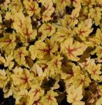 Teppich Purpurglöckchen Stoplight - Heucherella tiarelloides