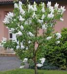 Fiederblättriger Flieder 40-60cm - Syringa pinnatifolia