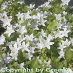 Glockenblume E.H. Frost - Campanula poscharskyana