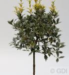 Hochstammm Herbstduftblüte Goshiki 80-100cm - Osmanthus heterophyllus