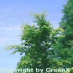 Nordjapanische Hemlocktanne 25-30cm - Tsuga diversifolia