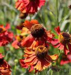 Sonnenbraut Ruby Tuesday - Helenium cultorum