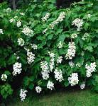 Eichenblättrige Hortensie Tennessee Clone 40-60cm - Hydrangea quercifolia