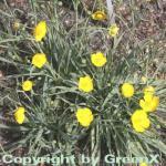 Grasblättriger Hahnenfuß - Ranunculus gramineus