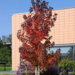 Säulen Amberbaum Stella 80-100cm - Liquidambar styraciflua