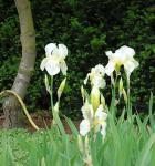 Schwertlilie Lugano - Iris barbata