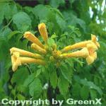 Gelbe Klettertrompete 80-100cm - Campsis radicans