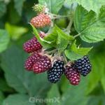 Boysenbeere - Rubus fruticosus