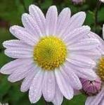 Winteraster L Innocence - Chrysanthemum hortorum