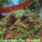 Wintergrüne Hängemispel 100-125cm - Cotoneaster watereri