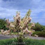 Weißbunte Weigelie 30-40cm - Weigela florida
