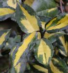 Buntlaubige Ölweide Maculata 40-60cm - Elaeagnus pungens