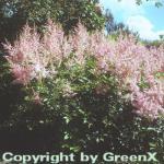Prachtspiere Cattleya - Astilbe arendsii