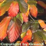 Eisenholzbaum 100-125cm - Parrotia persica