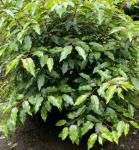 Kugelschnitt Portugiesische Lorbeerkirsche Angustifolia 40-50cm - Prunus lusitanica