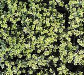 Zitronenthymian Silver Queen - Thymus citriodorus
