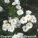 Hochstamm Rose Innocencia 60-80cm