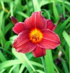 Taglilie Little Joy - Hemerocallis cultorum