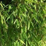 Gartenbambus Jiuzhaigou-1 100-125cm - Fargesia