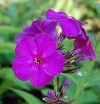 Hohe Flammenblume The King - Phlox Paniculata