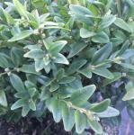 Buchsbaum Angustifolia 30-40cm - Buxus sempervirens