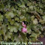 weisses Steinbrech - Saxifraga cortusifolia