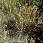 Blauschwingel Golden Toupee - Festuca cinerea