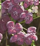 Klettergurke Blaugurkenwein 40-60cm - Akebia quinata