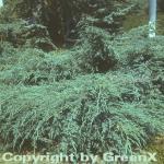 Blauer Teppichwacholder 60-80cm - Juniperus squamata